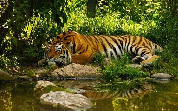 Где обитают тигры