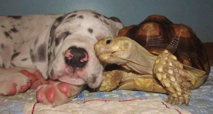 Домашняя черепаха фото