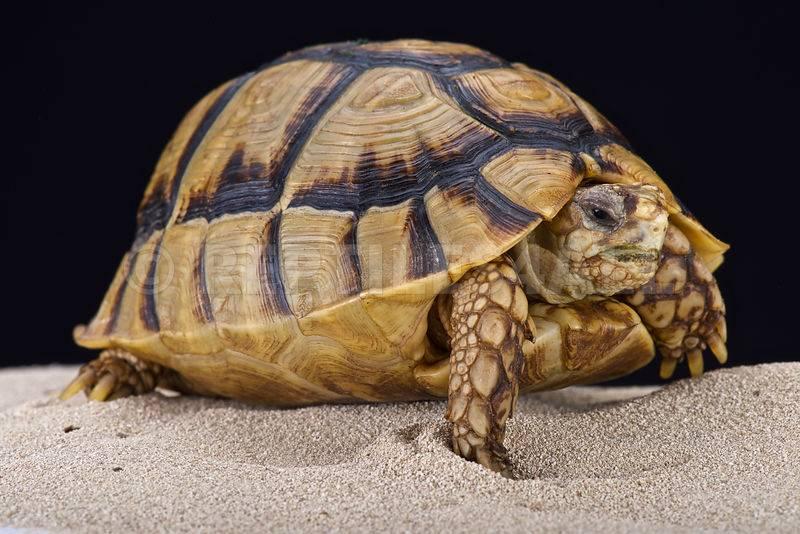 Египетская черепаха Testudo kleinmanni