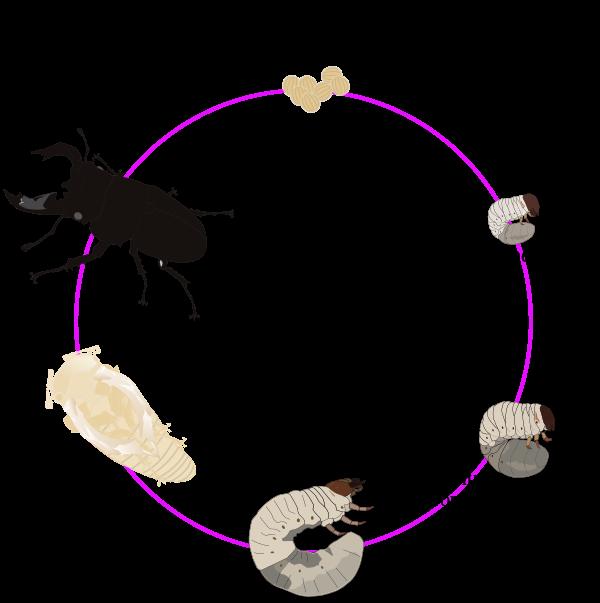 Жизненный цикл жуков рогачей
