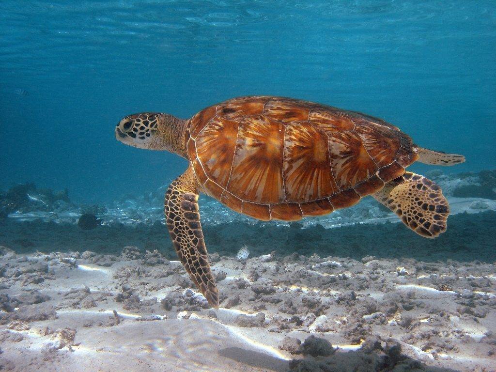 Зеленая черепаха (суповая черепаха) Chelonia mydas