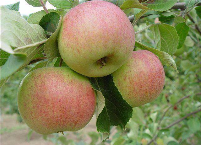 Зимний сорт яблони Здоровье