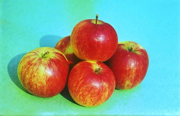 Зимостойкий сорт яблони Бессемянка Мичуринская
