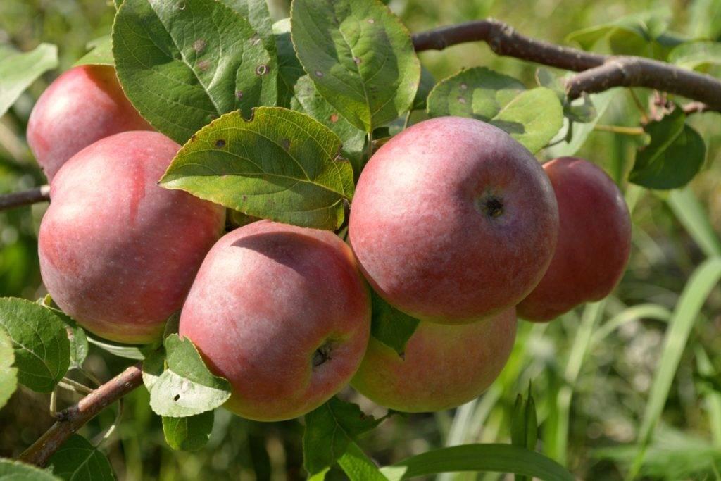 Зимостойкий сорт яблони Осеннее алое