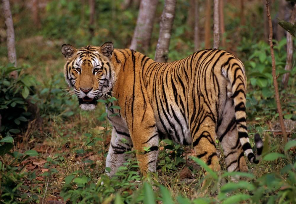 Индокитайский тигр Panthera tigris corbetti