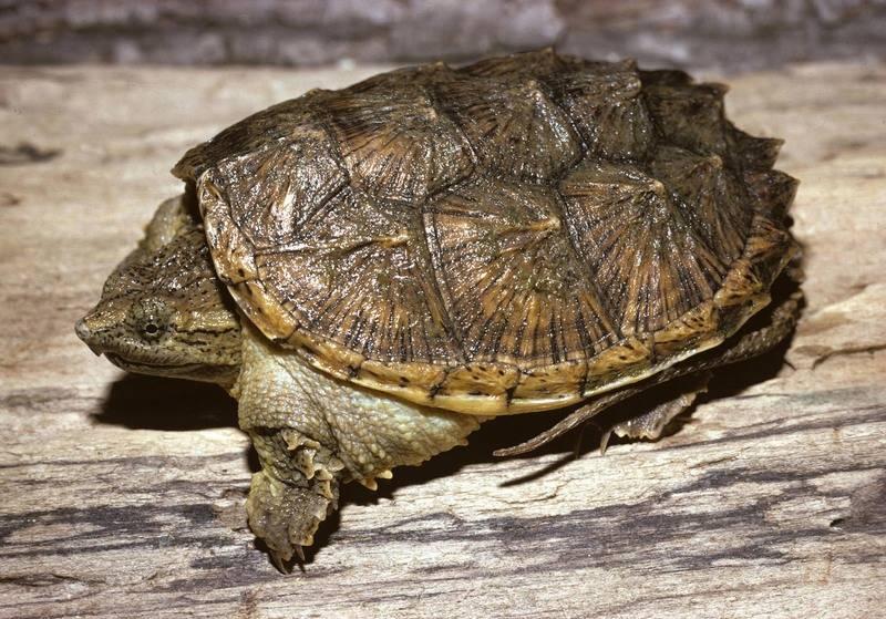 Каймановая черепаха (кусающаяся) Chelydra serpentina