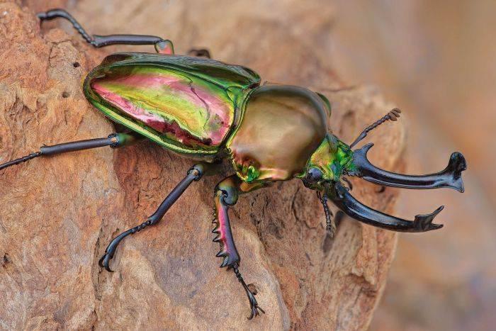 Как выглядит жук рогач Phalacrognathus muelleri