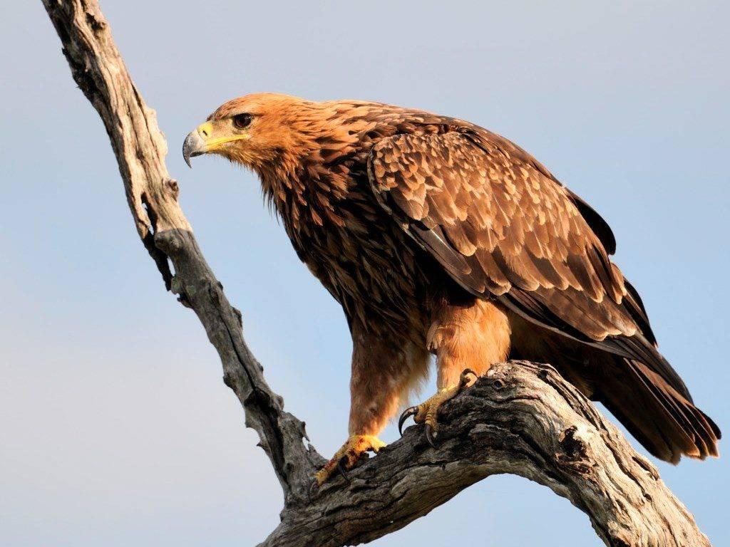 Каменный орел Aquila rapax