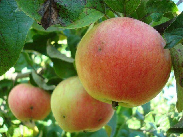 Карликовая яблоня сорта Соколовское