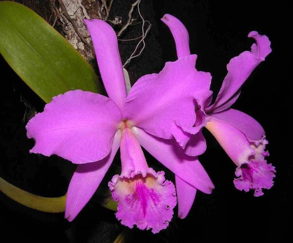 Каттлея губастая (Cattleya labiata)