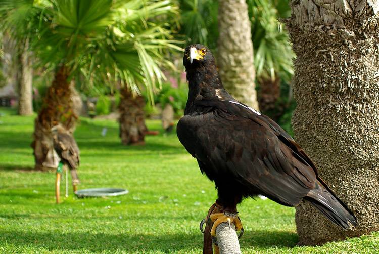 Кафрский орел Aquila verreauxii