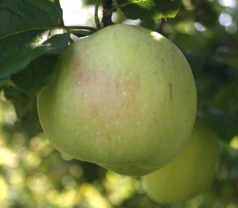 Кислый сорт яблони Бойкен