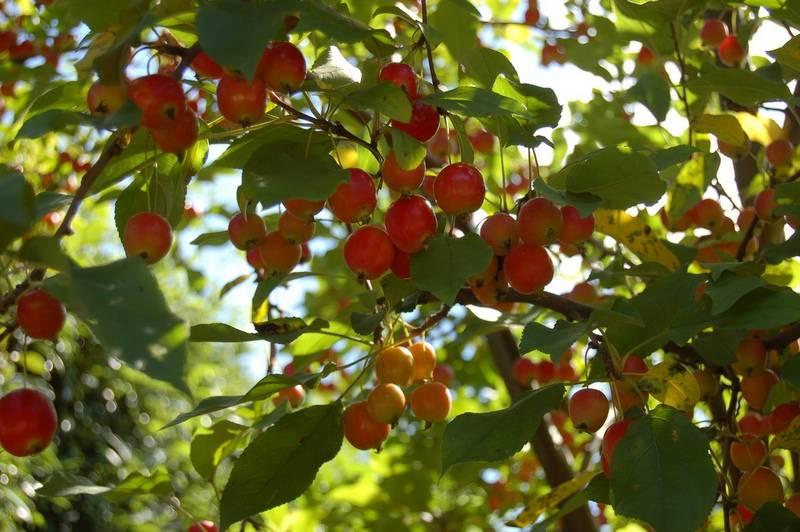 Китайская яблоня фото