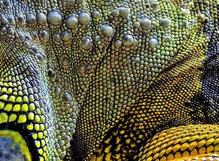 Кожа игуаны фото