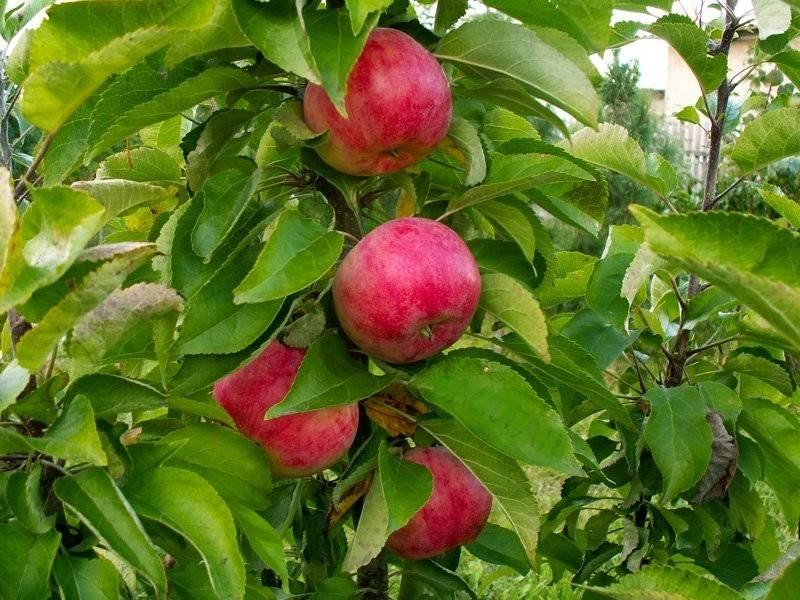 Колоновидная яблоня – сорт Арбат