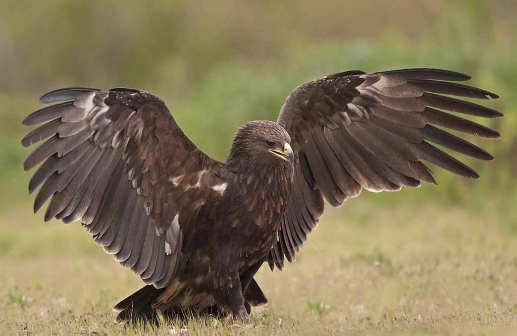 Крылья орла