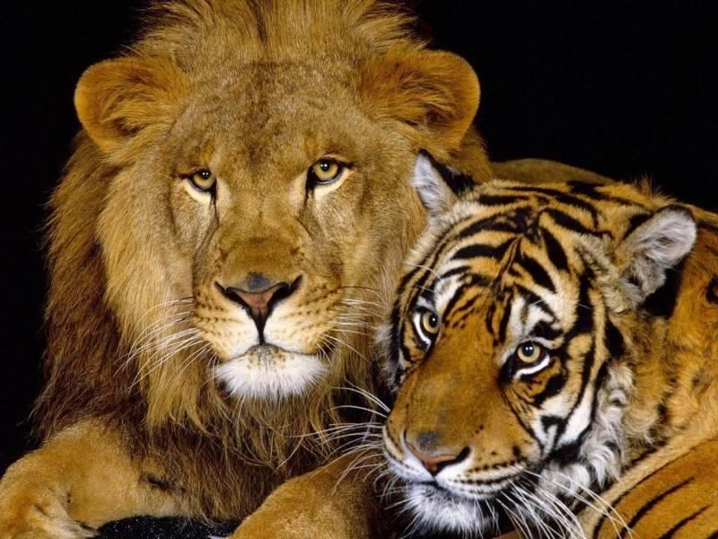 Кто сильнее лев или тигр