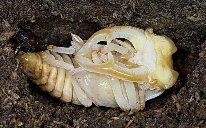 Куколка жука-оленя самца (жука рогача)