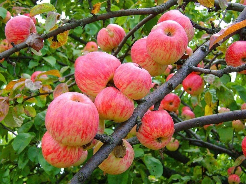 Летний сорт яблони Мельба
