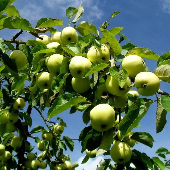 Летний сорт яблони Раннее сладкое