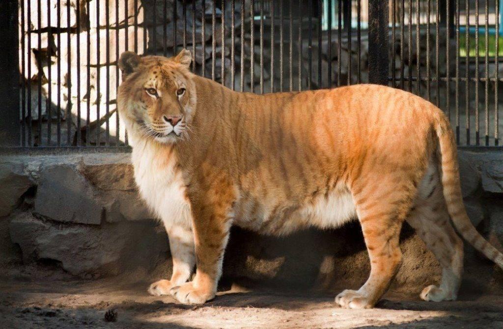 Лигр фото (гибрид льва и тигрицы)