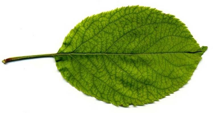 Лист яблони фото