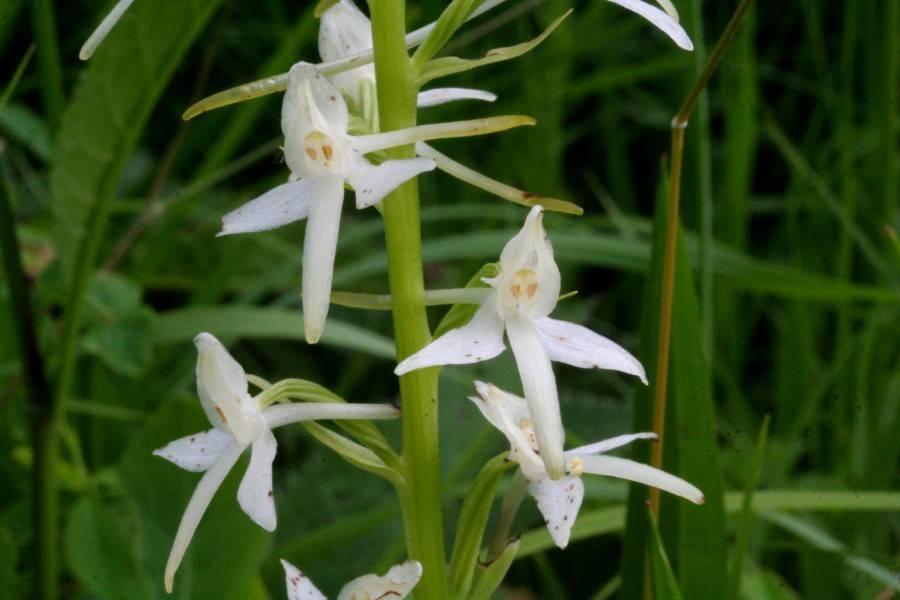 Любка двулистная (лат. Platanthera bifolia)