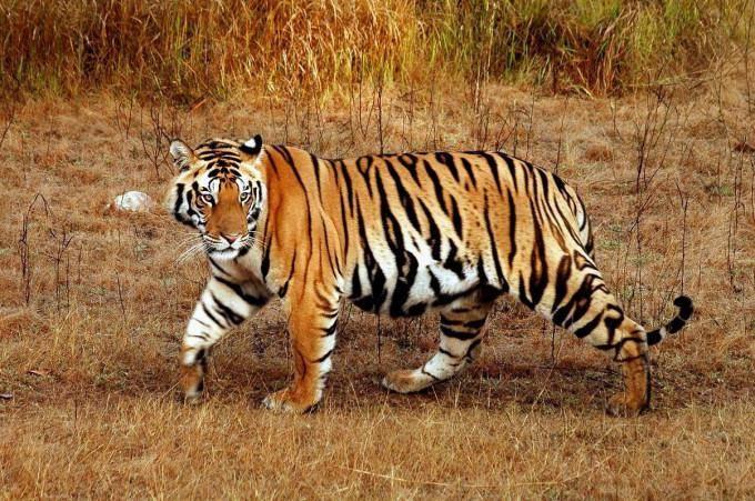 Малайский тигр Panthera tigris jacksoni