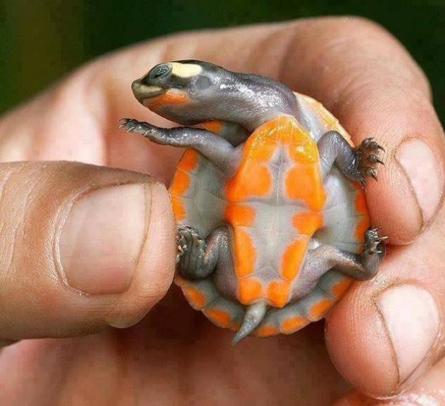 Маленькая черепаха фото