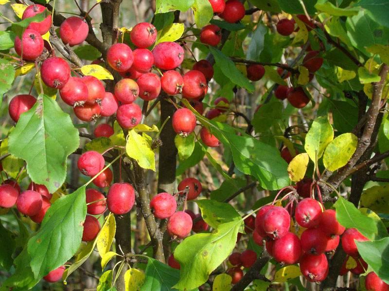 Мелкоплодный сорт яблони Долго