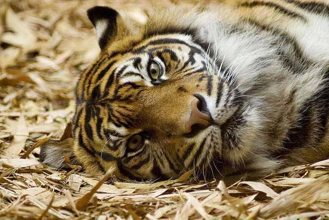 Морда тигра фото