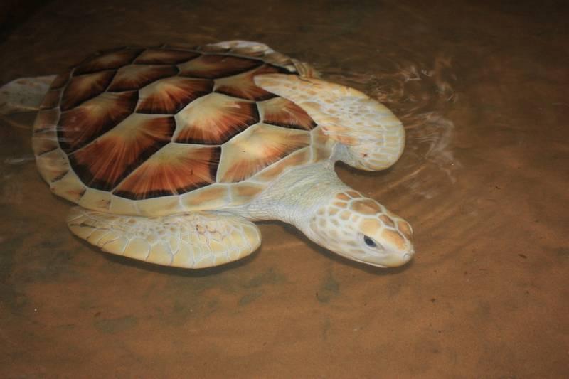 Морская черепаха альбинос фото