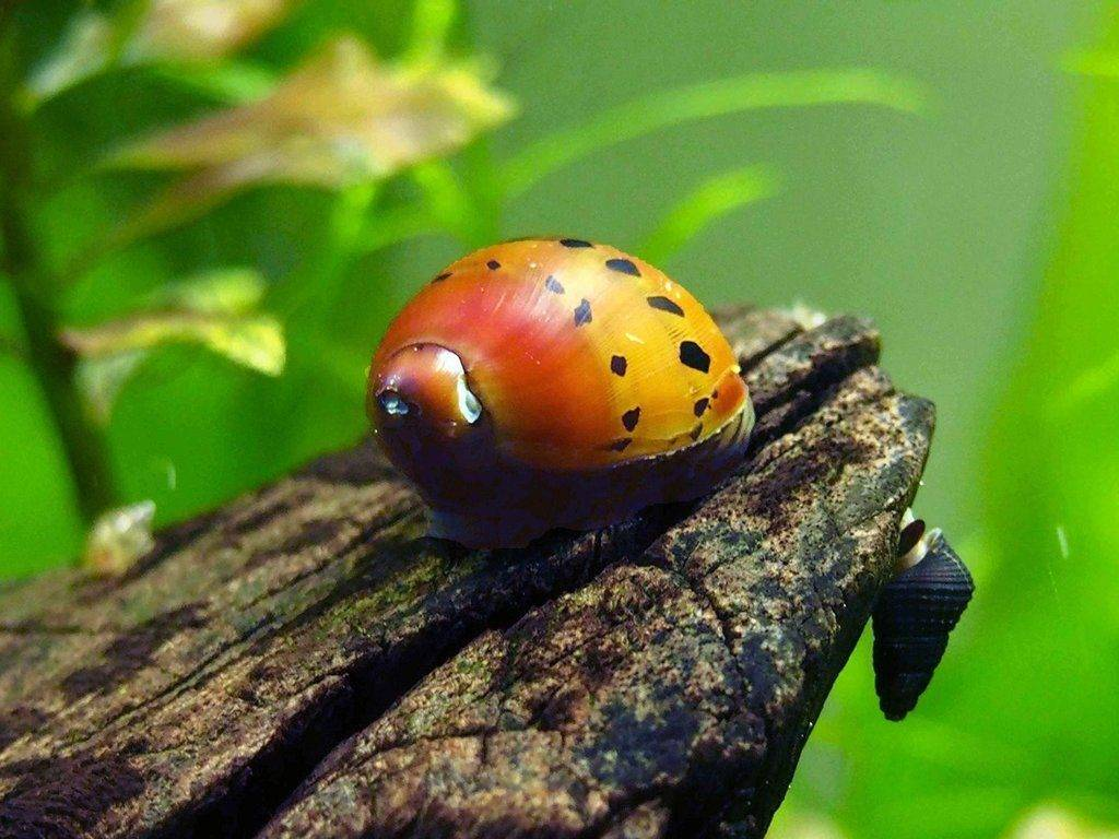 Неритина красноточечная или пятнистая (анг. tracked nerite snail)