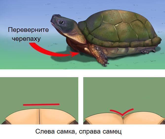 Определение пола черепах