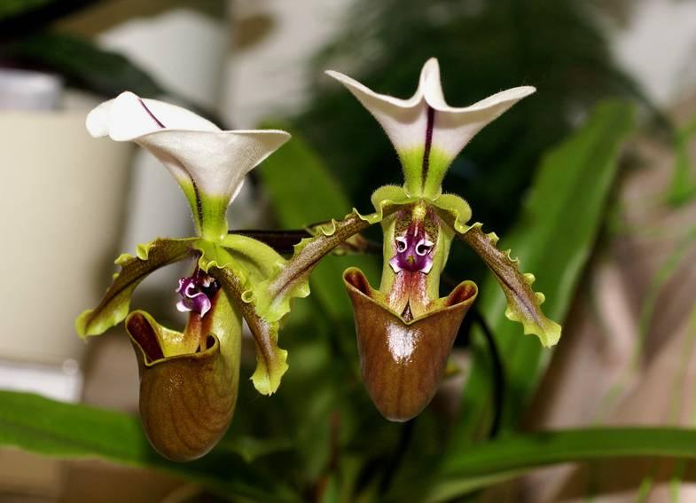 Орхидея башмачок фото