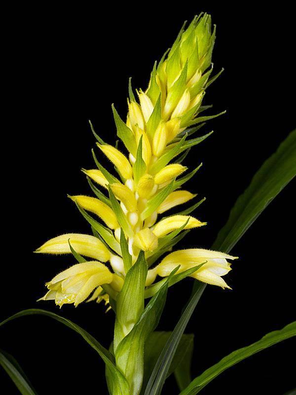 Орхидея рода неувидия ( Neuwiedia)