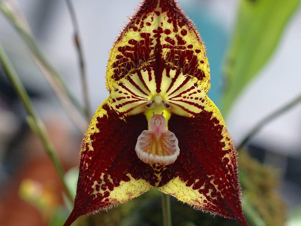Орхидея Dracula robledorum