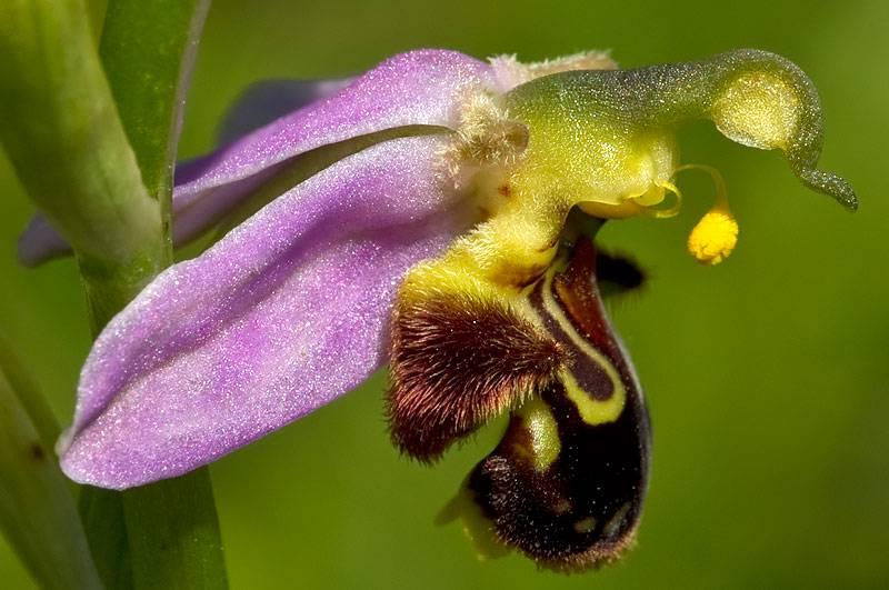 Офрис пчелоносная (лат. Оphrys apifera)