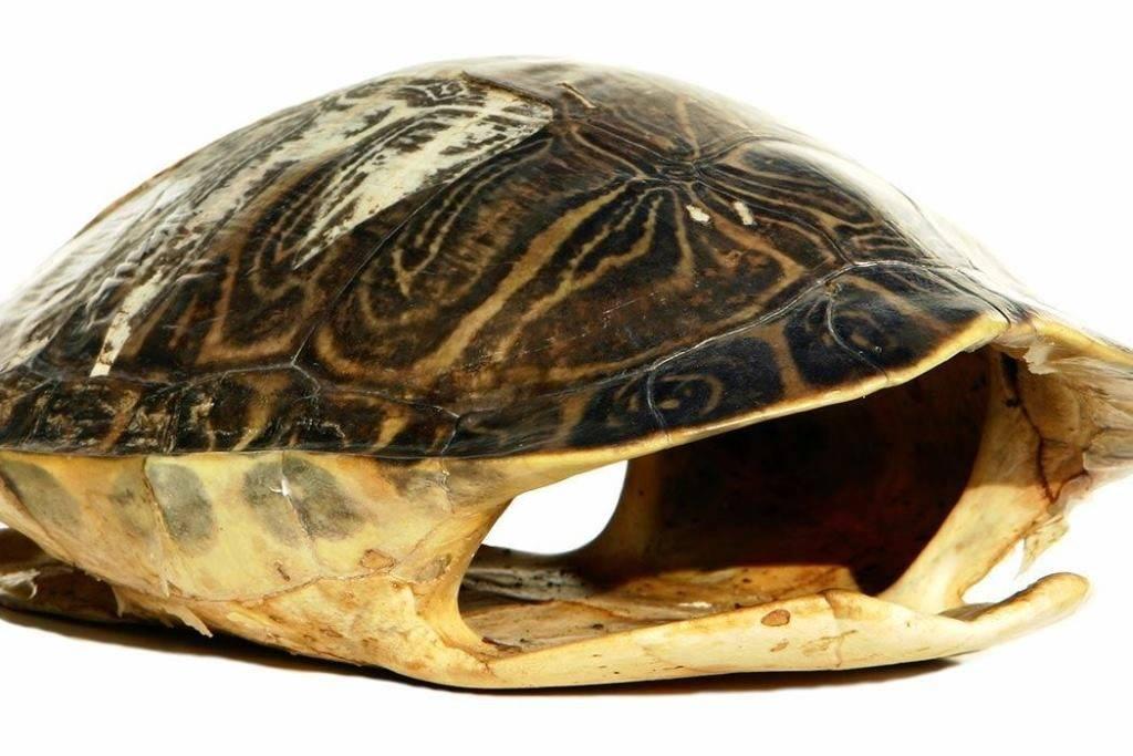 Панцирь черепахи – вид внутри