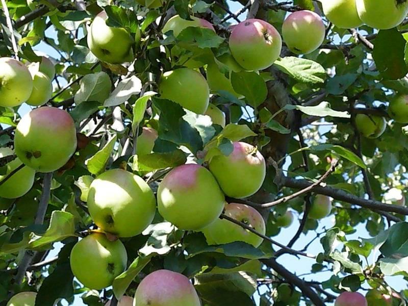 Позднеплодный сорт яблони Бабушкино