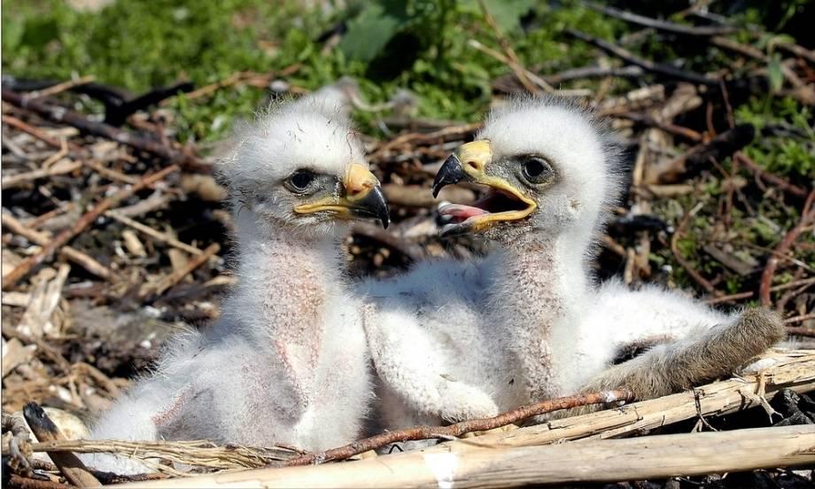 Птенцы орла