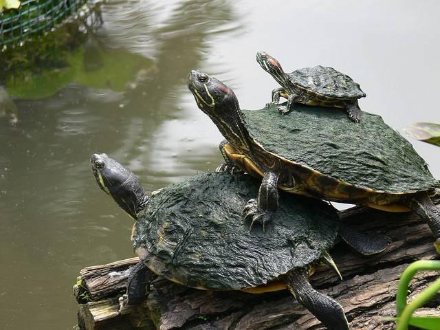Размножение черепах
