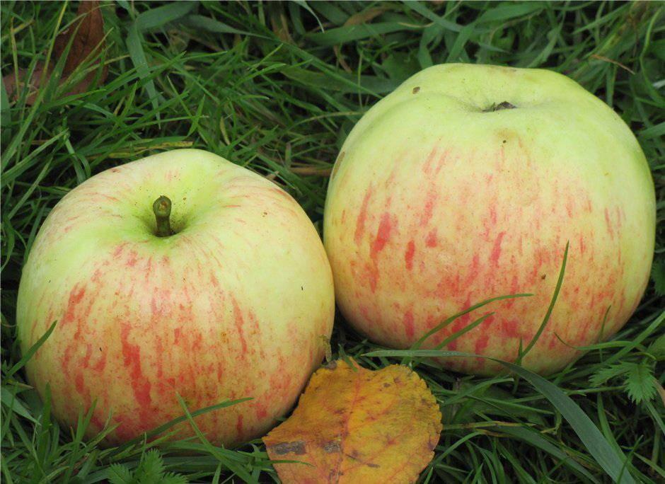 Раскидистая яблоня сорта Избранница