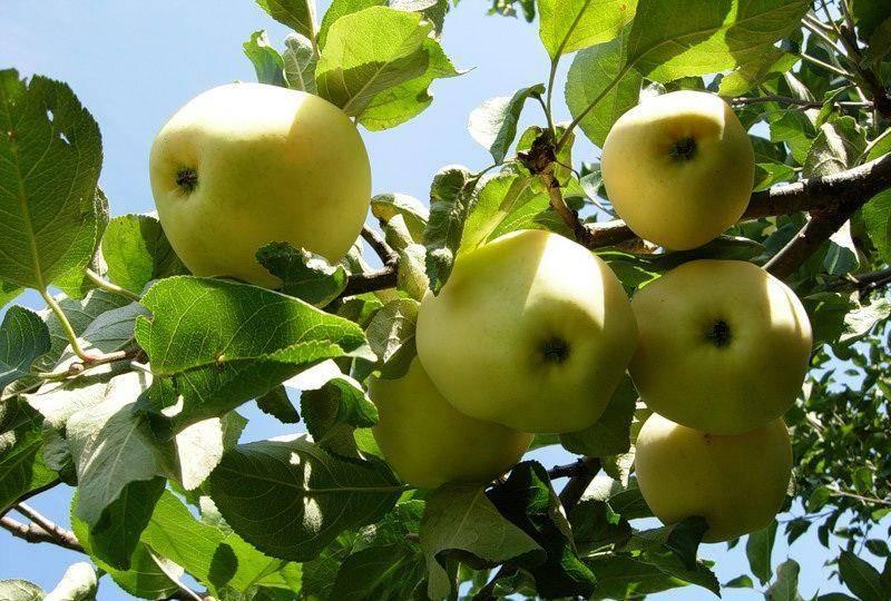Раскидистая яблоня сорта Янтарь