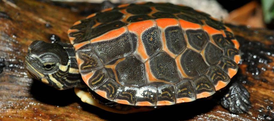 Расписная черепаха (украшенная черепаха) Chrysemys picta