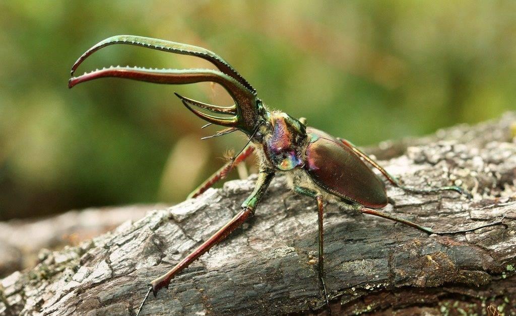 Рогач Гранта Chiasognathus grantii (самец)