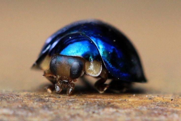 Синяя божья коровка Halmus chalybeus