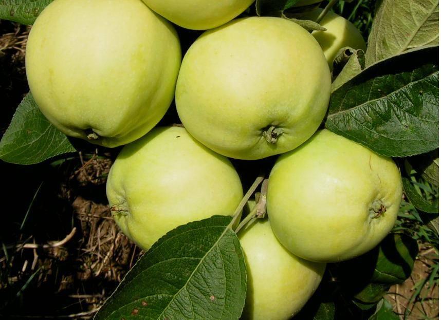 Скороплодный сорт яблони Папировка
