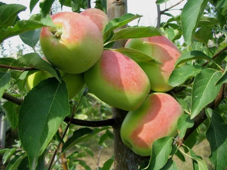 Сорт яблони Кандиль Синап
