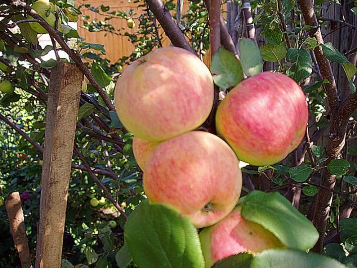 Сорт яблони Персиянка